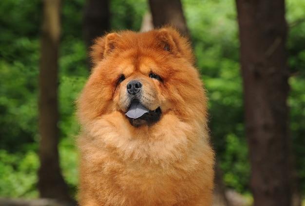 Retrato de perro chow chow