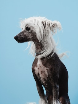 Retrato de un perro crestado chino con cabello blanco