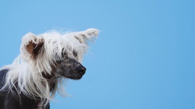 Retrato de perro crestado chino con fondo azul del espacio de la copia