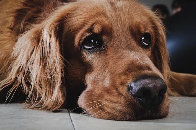 El retrato del perro del golden retriever descansa en la casa. de cerca