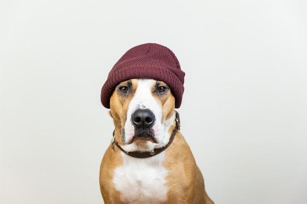 Retrato de perro gracioso en hipster rojo tejer sombrero. staffordshire terrier mira a la cámara, accesorios de invierno o concepto estacional