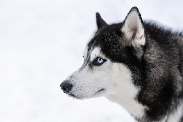 Retrato de perro husky divertida mascota caminando antes del entrenamiento del perro de trineo.