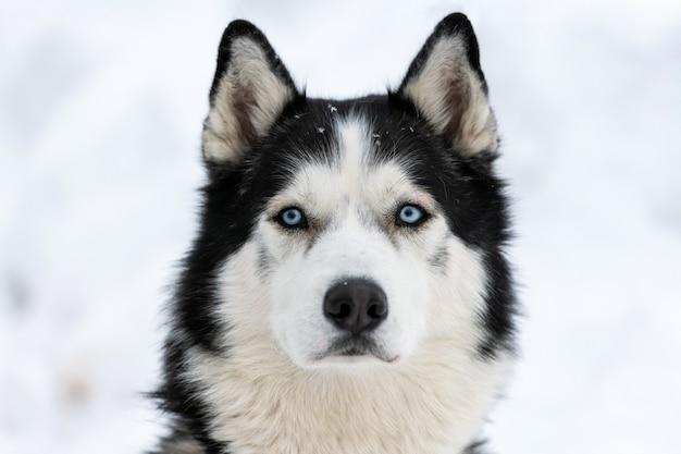 Retrato de perro husky, fondo nevado de invierno. divertida mascota caminando antes del entrenamiento del perro de trineo.