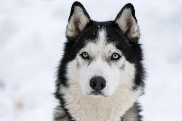 Retrato de perro husky, invierno cubierto de nieve. divertida mascota caminando antes del entrenamiento del perro de trineo.