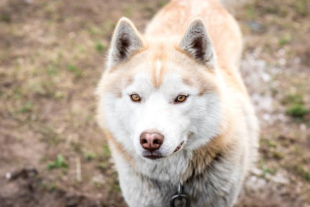 Retrato de perro husky marrón sobre el césped a principios de la primavera.