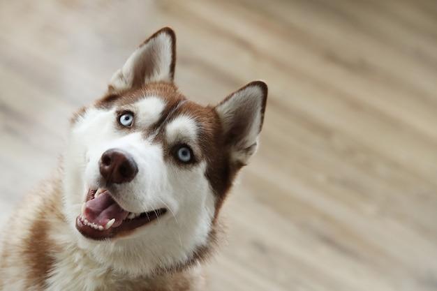 Retrato de perro husky