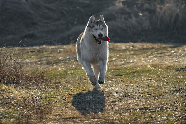 Retrato de perro lindo y feliz raza husky siberiano con lengua colgando corriendo en el bosque de otoño amarillo brillante. lindo perro husky gris y blanco en el bosque de otoño dorado