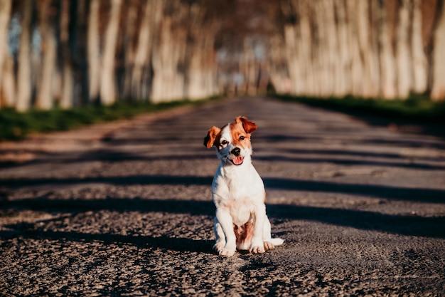 Retrato del perro lindo de jack russell que se sienta en la puesta del sol en un camino. perro feliz al aire libre