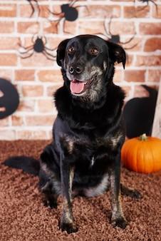 Retrato de perro negro mirando hacia arriba