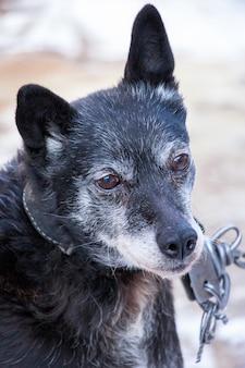 Retrato de perro negro viejo en collar