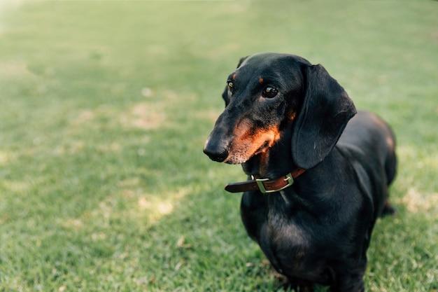 Retrato de perro obediente de pie en la hierba verde