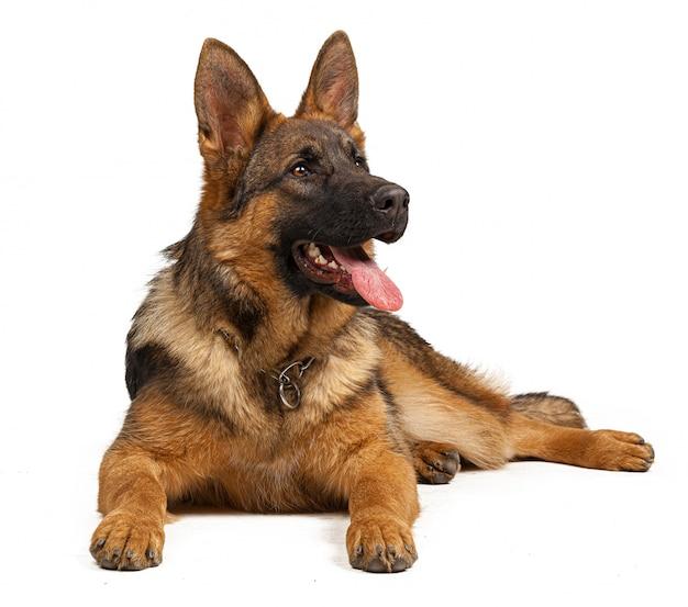 Retrato de un perro pastor alemán aislado en blanco