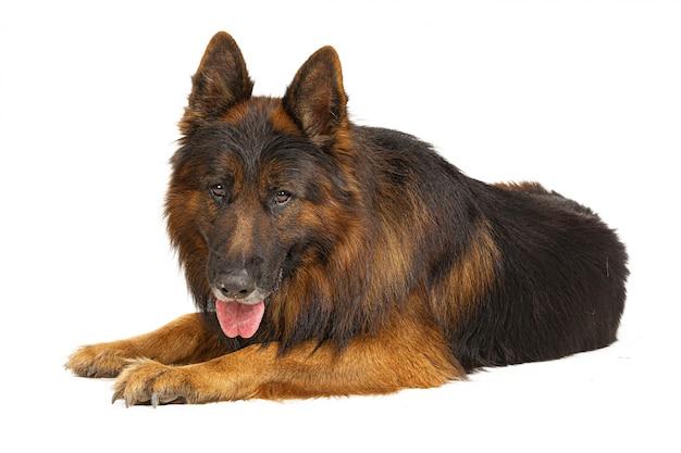 Retrato de perro pastor alemán de pelo largo aislado