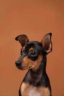 Retrato de perro pequeño en un estudio.