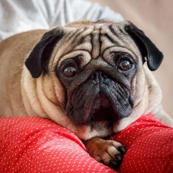 Retrato de un perro pug con ojos grandes