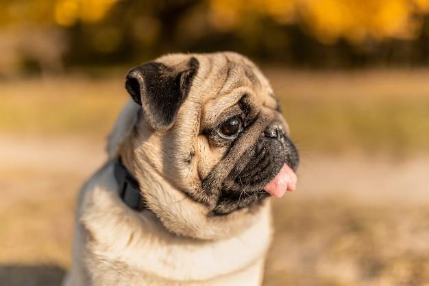 Retrato de un perro pug sentado en el parque otoño en hojas amarillas