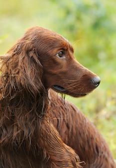 Retrato del perro, setter irlandés en fondo verde, al aire libre, vertical