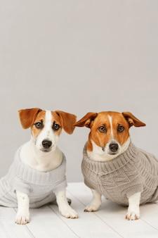 Retrato de perros lindos en blusas tejidas, foto de estudio del cachorro jack russell y su madre.
