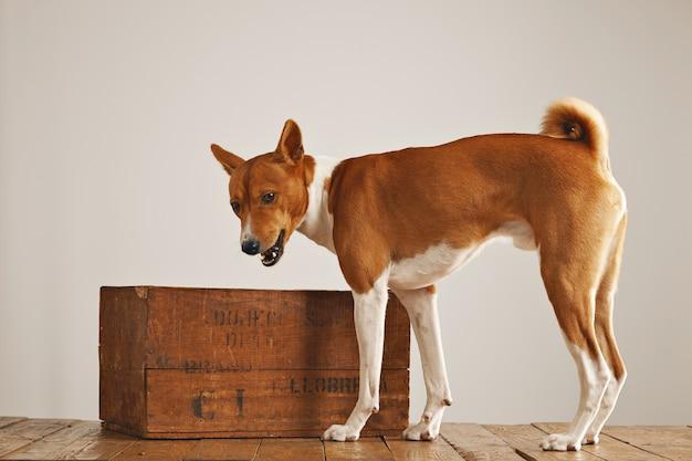 Retrato de pie de un lindo perrito activo junto a una caja de vino vintage marrón en un estudio con paredes blancas