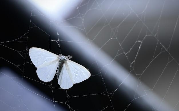 Retrato de una polilla de satén blanco en una telaraña capturada en japón