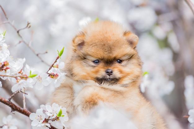 Retrato de primavera de un pequeño cachorro de pomerania