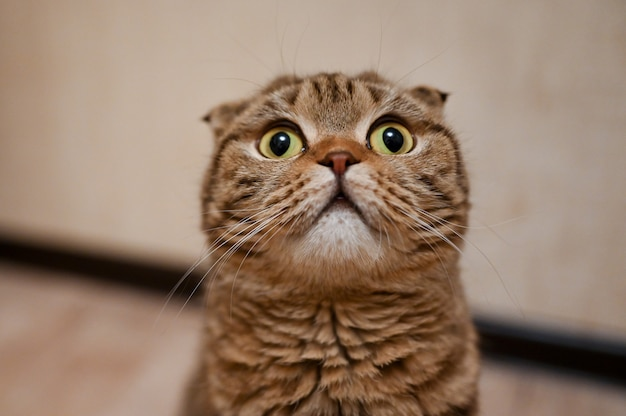 Retrato del primer del gato del doblez del escocés con los ojos amarillos. hermoso gato atigrado de pelo corto