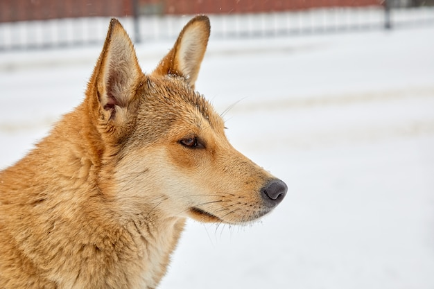 Retrato del primer de un perro mestizo en perfil contra un fondo blanco de la nieve. un triste perro sin hogar deambula por los ventisqueros en un día de invierno