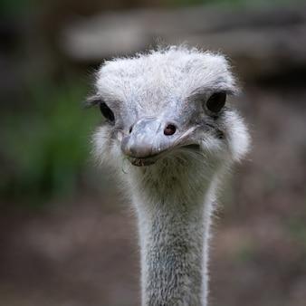 Retrato de primer plano de cabeza de avestruz lindo