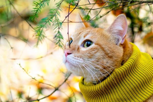 Retrato, primer plano de un gato jengibre en una bufanda, en los rayos del sol contra el fondo del bosque y los árboles. al aire libre