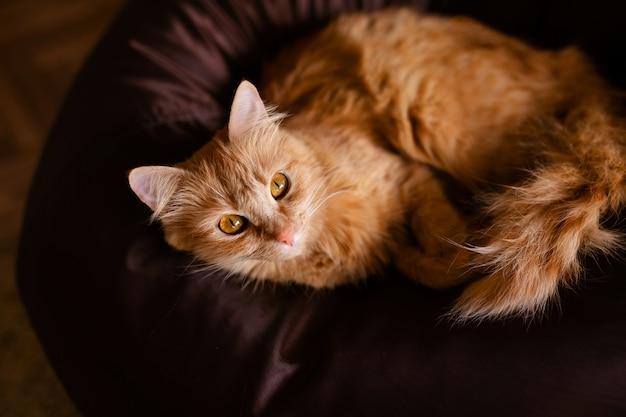 Retrato de primer plano de gato rojo jengibre