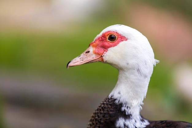 Retrato de primer plano de gran cabeza de pato almizcle blanco y negro engordada hermosa al aire libre
