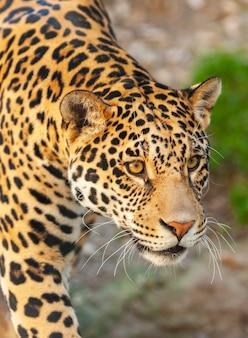 Retrato de primer plano de un jaguar
