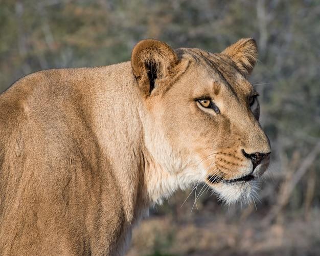 Retrato de primer plano de una leona