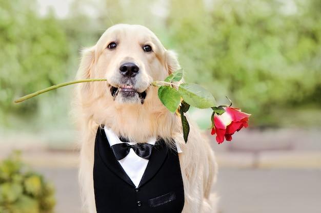 Retrato de primer plano del perro golden retriever con rosa en la boca