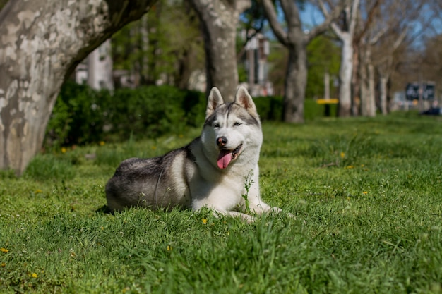 Retrato de primer plano de un perro. husky siberiano con ojos azules.