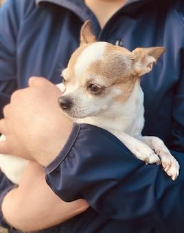 Retrato de primer plano de un perro de raza chihuahua al aire libre. el perro está sentado en los brazos de un hombre.