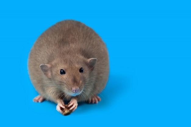 Retrato de una rata doméstica sobre fondo azul.
