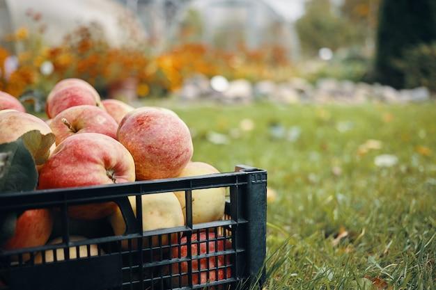 Retrato recortado de manzanas rojizas maduras frescas sobre césped en el jardín. tiro al aire libre de sabrosas frutas en césped verde en campo. comida orgánica vegetariana, recolección, vitaminas, horticultura y agricultura.