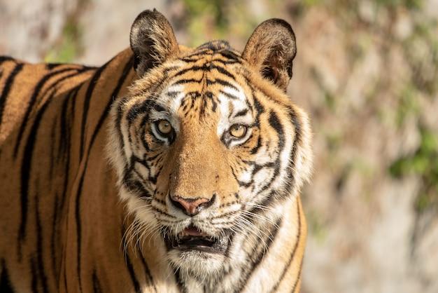 Retrato de un tigre de bengala.