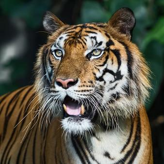 Retrato de un tigre en un entorno natural.