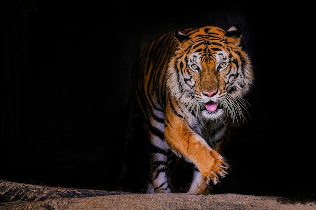Retrato de tigre de un tigre de bengala en tailandia sobre negro