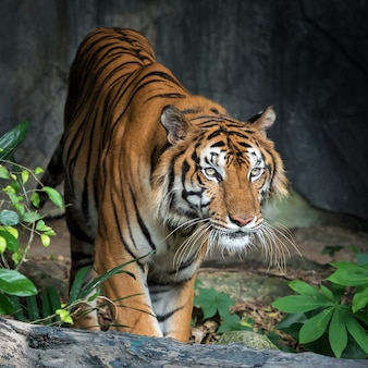Retrato de tigre