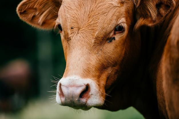 Retrato de vaca marrón
