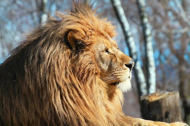 Rey león en el safari zoológico