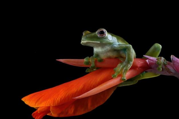 Rhacophorus prominanus o la rana arborícola malaya en flor roja