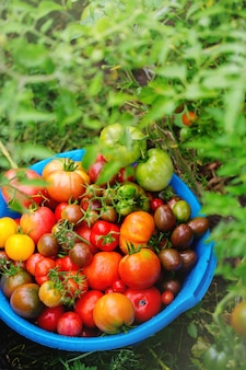 Una rica cosecha de varias variedades de tomates.