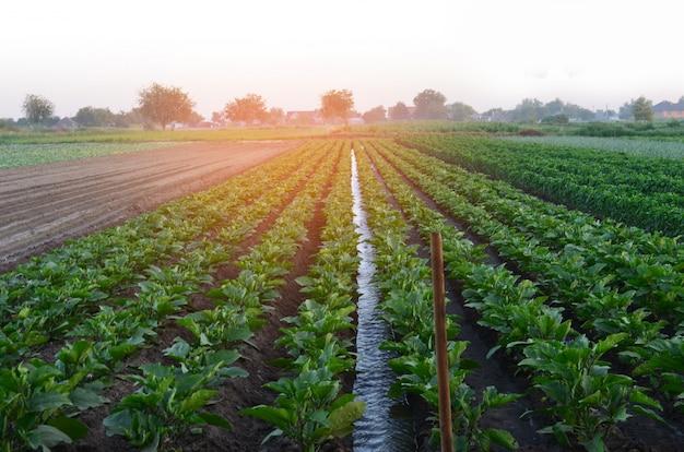 Riego de cultivos agrícolas, campo, riego, riego natural, pueblo.