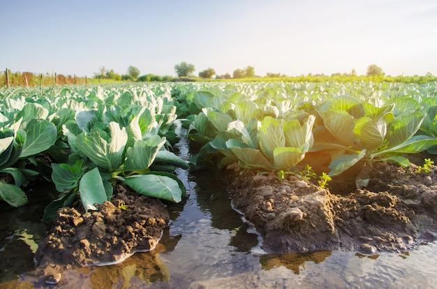 Riego natural de cultivos agrícolas, riego. las plantaciones de repollo crecen en el campo.