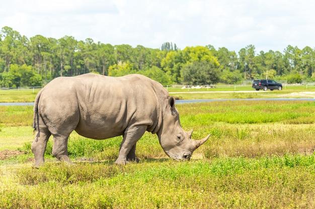 Rinoceronte blanco, rinoceronte caminando hierba verde