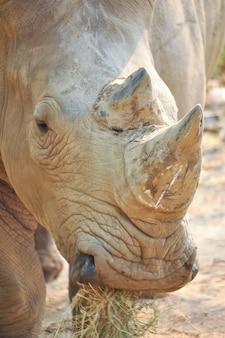 Rinoceronte blanco